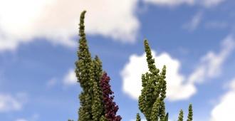 Descifran genoma de quinoa, planta andina considerada una esperanza mundial