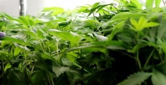 La provincia argentina de Jujuy producirá cannabis medicinal