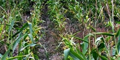 Chicago: Leve baja en los precios de los cereales