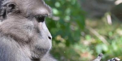 Las hembras de un tipo de primates, incitan a los machos a la violencia, según un estudio