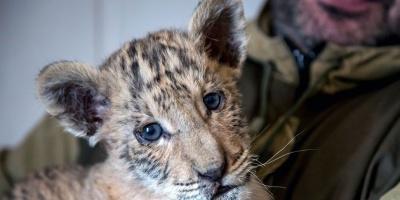 Nace un bebé tigre, una cruza entre un león y una tigresa, en un zoo de Rusia