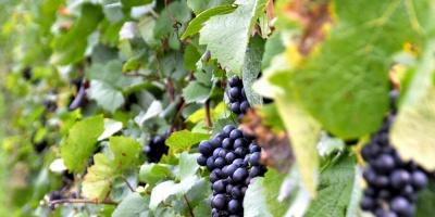 Vendimia 2017 aportará 98 millones de kilos de uvas