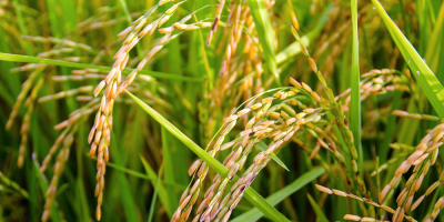 Inauguran en Cebollatí la cosecha de arroz 2017