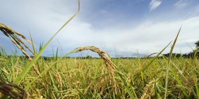 Cosecha de arroz con alto índice de productividad