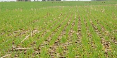 El maíz sube y el clima de EEUU sigue pesando en el mercado