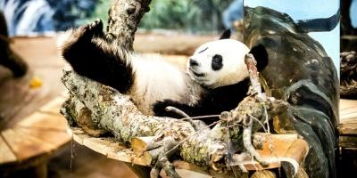 Nace en China primer panda del mundo de una madre en cautiverio y un padre en libertad