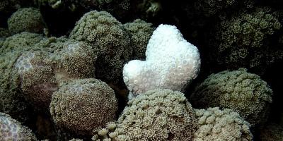 Piden investigar más si los corales pueden adaptarse al cambio climático