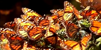 """Se extingue la característica """"Mariposa Monarca"""" en México"""