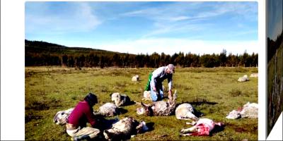 Perros salvajes matan decenas de ovejas