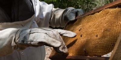 """Reducción de población de abejas """"amenaza"""" la producción de alimentos humanos"""