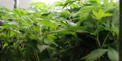 Canadá legalizará el cannabis desde el miércoles próximo