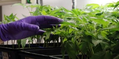 Empresa española investigará y desarrollará marihuana medicinal en Uruguay