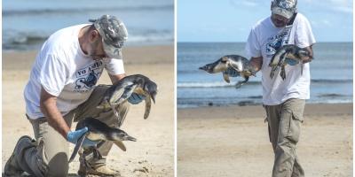 Rescantan con vida a decenas de jóvenes pingüinos patagónicos en las costas uruguayas