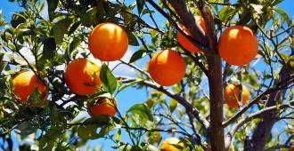 Producción citrícola en 2019 alcanzará un incrementó de 12 %