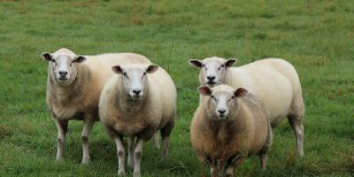 Buscan perfeccionar producción ovina