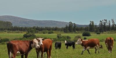 Mueren vacas por la ola de calor y afecta la producción
