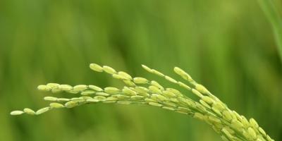 La soja cae por Brasil mientras que trigo y maíz tienen leve alza