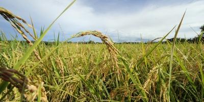 Cosechas mejores de las previstas hacen caer precios de maíz, trigo y soja