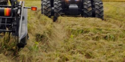 El desplome de la producción de trigo pone más en dificultad a los sirios