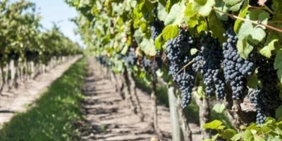 Celebran en Punta del Este el Cuadragésimo Primer Congreso Mundial  de la Viña y el Vino