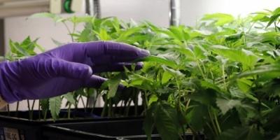 Investigan las causas por la cuales una niña de dos años se intoxicó con un brownie de marihuana en La Pedrera