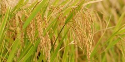 Cultivadores de Arroz analizan movilizarse en setiembre