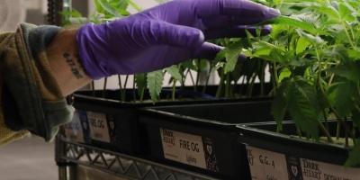 Denuncian que venden aceite de cannabis falso
