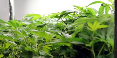 Ministra de Seguridad propone regular el consumo de cannabis en Argentina