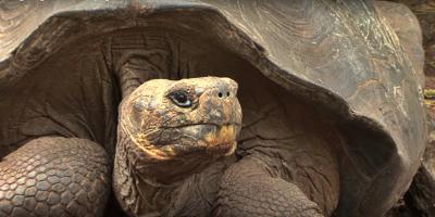 Diego, la tortuga de 100 años que tuvo 800 crías y ayudó a salvar su especie en Galápagos