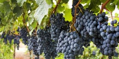 """Históricos"" vinos uruguayos se preparan para salir al mundo pese a pandemia"