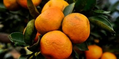 Uruguay obtuvo habilitación para exportar cítricos a Vietnam