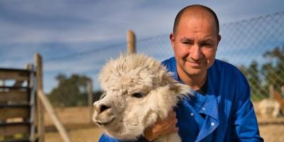 """Científicos chilenos hallan """"fuerte"""" anticuerpo contra la COVID-19 en alpacas"""