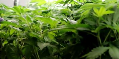 Proyectan instalar una planta de cannabis medicinal en San José