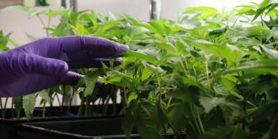 El Gobierno analiza impulsar modificaciones jurídicas para facilitar exportación de cannabis medicinal