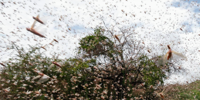En las próximas horas podría ingresar al país la manga de langostas que está en Argentina