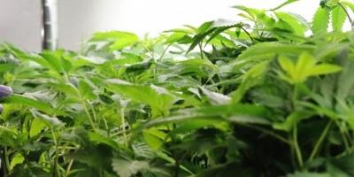 Paraguay estudia la posibilidad de producir marihuana para exportación