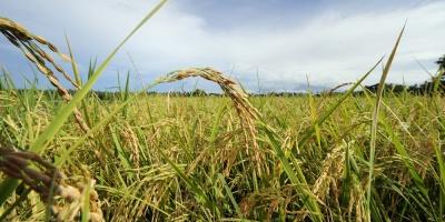 Las exportaciones de la zafra de arroz este año superan ventas anteriores