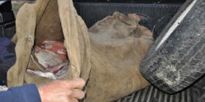 Procesaron a un hombre por delitos de faena clandestina en Lavalleja