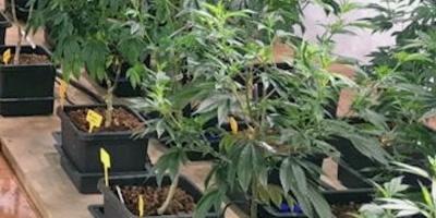 """Cannabis medicinal, un negocio """"de tiempo"""" que crece, dice experto uruguayo"""