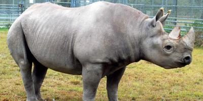 Muere el rinoceronte negro del zoológico de Miami, el más adulto de Norteamérica