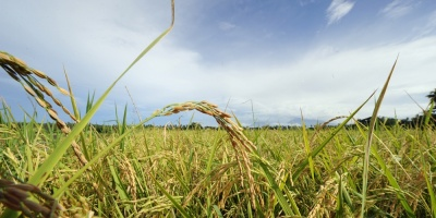 Uruguay volverá a exportar arroz a Irak