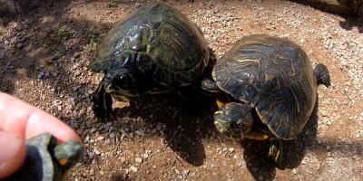 Ecuador devuelve 15 tortugas a su hábitat natural del Parque Nacional Yasuní